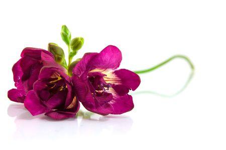 violet fresia on white
