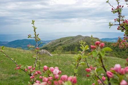 Apple blossoms Stock Photo - 17463594