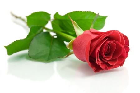 Rose rouge sur le blanc Banque d'images - 17605614