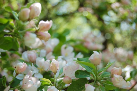 Apple blossoms Stock Photo - 17605779