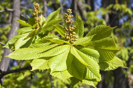 chestnut young leaves photo