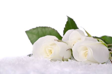 white roses in the snow photo