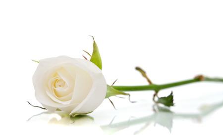 tige: rose blanche sur le blanc