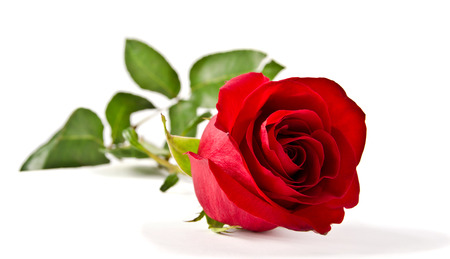 isolated roses: Red rose Stock Photo