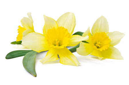 yellow daffodil isolated on a white
