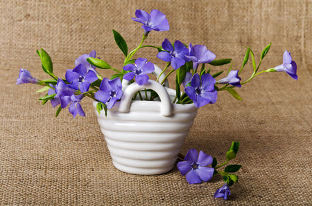 pedicel: White basket with beautiful blue periwinkle Stock Photo