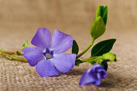 pedicel: Beautiful blue flower periwinkle
