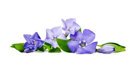 Beautiful blue flower periwinkle isolated on white background Imagens