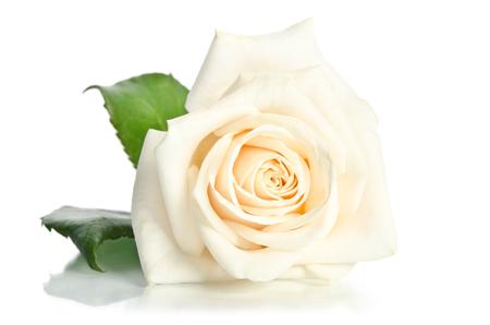 Rose isolé sur fond blanc Banque d'images - 33034821