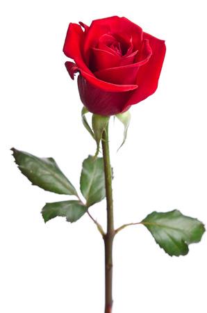 tallo: hermosa rosa roja sobre fondo blanco