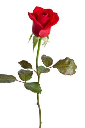Belle rose rouge isolé sur fond blanc Banque d'images - 35790936