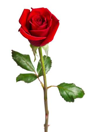 Belle rose rouge isolé sur fond blanc  Banque d'images - 36203760