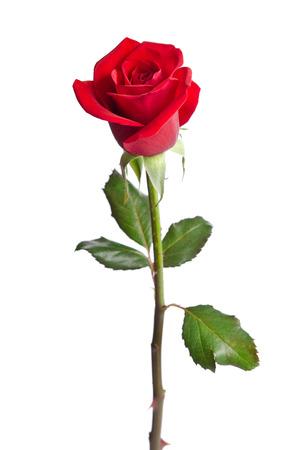 tallo: hermosa rosa roja aislados en fondo blanco