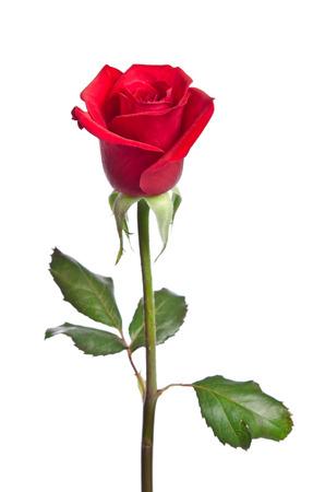 tige: belle rose rouge isolé sur fond blanc