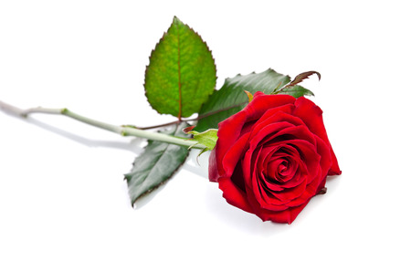 beautiful single red rose lying down on a white background Standard-Bild