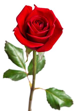 Belle rose rouge isolé sur fond blanc  Banque d'images - 37749973