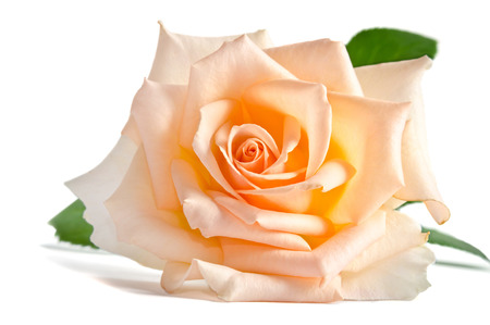 beautiful single creame rose lying down on a white background photo