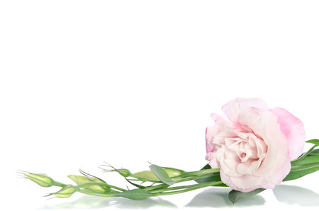 beautiful eustoma flower with leafs and buds on white background