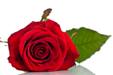 beautiful single red rose lying down on a white background Reklamní fotografie