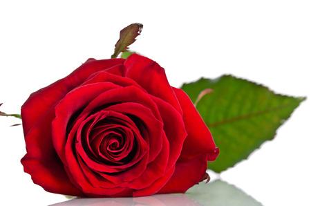 Belle rose rouge couchée sur un fond blanc Banque d'images - 39559050