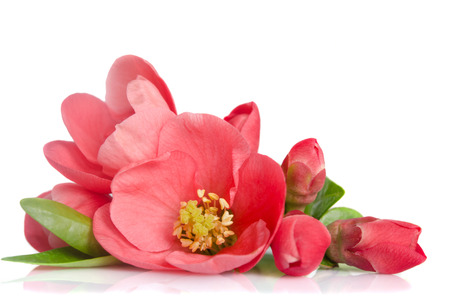 beautiful pink flower with buds on white background