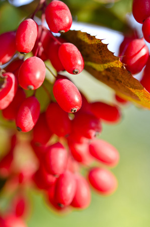 barberry: Red barberry berries on the tree