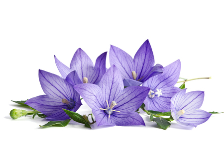 flores moradas: Flores de Bell aisladas sobre fondo blanco