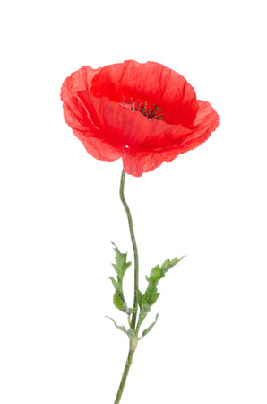 oriental poppy: single red poppy isolated on white