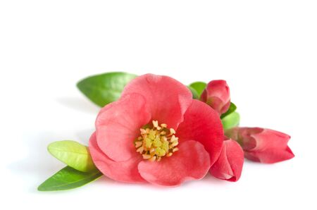 beautiful pink flower with buds on white background Reklamní fotografie - 44882275