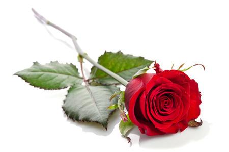 rot: schöne einzelne rote Rose liegt auf einem weißen Hintergrund Lizenzfreie Bilder