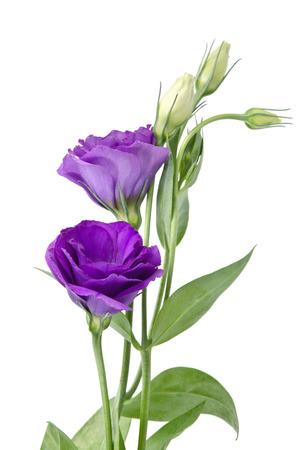 flor violeta: Flores de color púrpura de luz aislados en blanco. eustoma