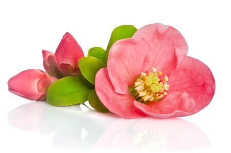 pink: beautiful pink flowers with buds on white background Stock Photo