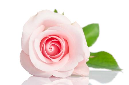 Belle rose rose unique couchée sur un fond blanc Banque d'images - 50258641