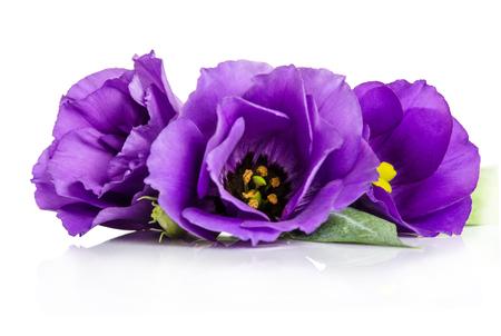 Beautiful violet eustoma flowers isolated on white background Reklamní fotografie - 50258643