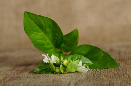 sprig: Sprig of fragrant spicy basil on the table