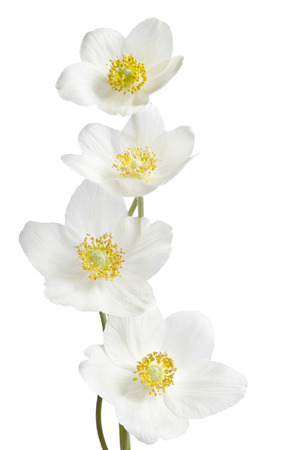 yellow card: White anemone flowers  isolated on white background