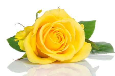 isolated on yellow: Yellow rose isolated on white background Stock Photo