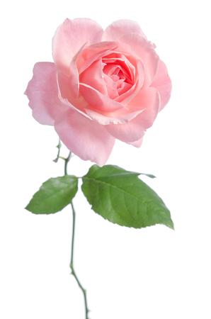 Beautiful fresh pink rose isolated on white background Reklamní fotografie