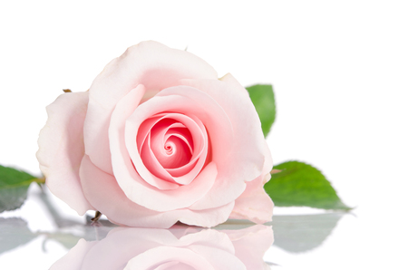 Buds: beautiful single pink rose lying down on a white background