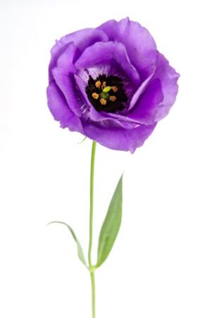 Beauty violet flower isolated on white. Eustoma