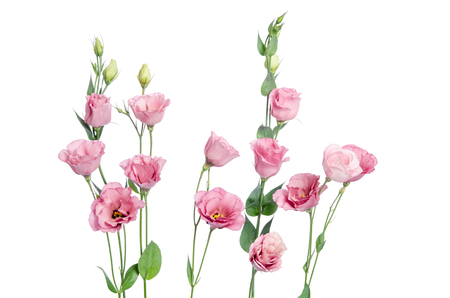 Beautiful pink eustoma flowers isolated on white background