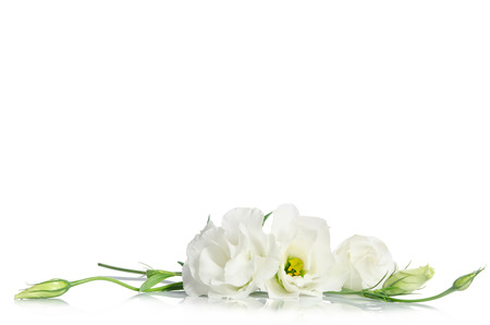 Beautiful eustoma flowers isolated on white background and free space for text at the top Archivio Fotografico