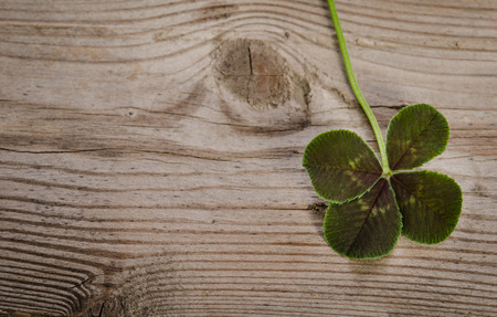 fourleaf: four-leaf clover for good luck isolated on wooden background