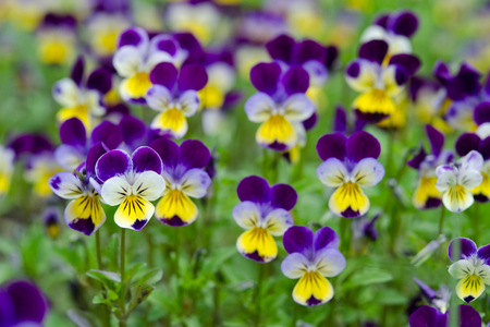 Pansies in a spring garden Фото со стока