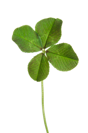 fourleaf: four-leaf clover for good luck isolated on white background