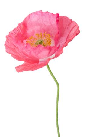 oriental poppy: pink poppy isolated on white Stock Photo