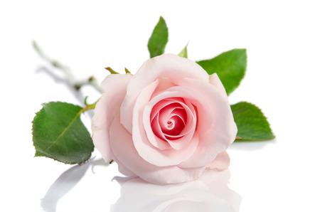 beautiful single pink rose lying down on a white background Reklamní fotografie - 58654173