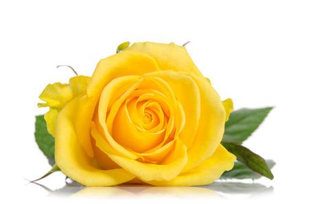 Belle rose jaune isolée sur fond blanc Banque d'images - 58654374