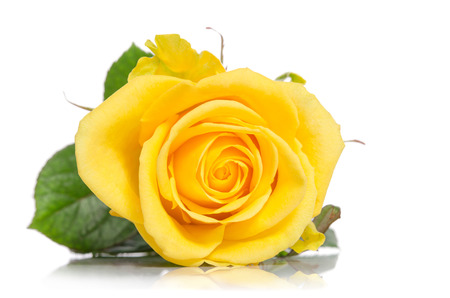 isolated on yellow: beautiful yellow rose isolated on white background