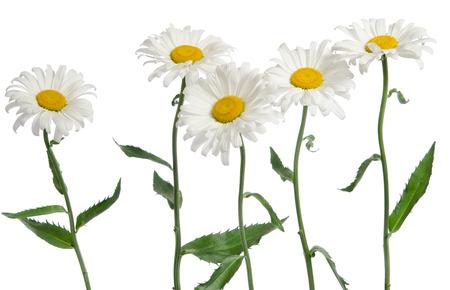 chamomile flower: chamomile flower on white background